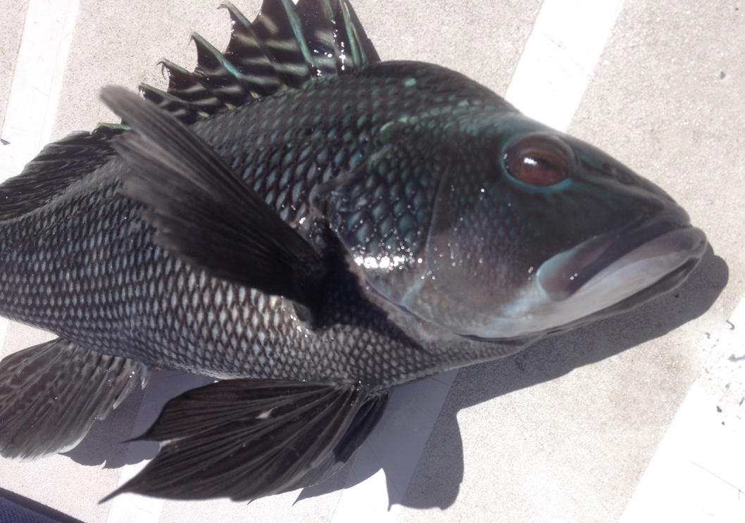 Fishing Charters Cape Cod Black Sea Bass Dragonfly