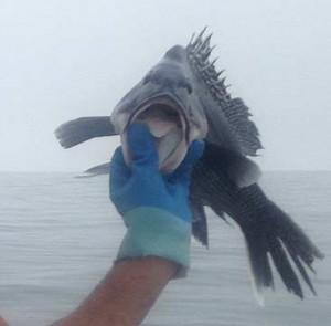CROP-black-seabass