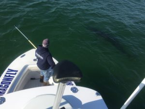 An Atlantic White Shark Conservancy scientists tags a shark from the bow of the Dragonfly Sportfishing boat