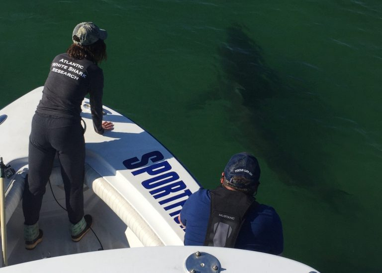 Atlantic White Shark Conservancy researchers observe a great white shark from the Dragonfly charter boat