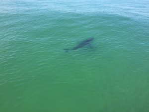A great white shark swims near Monomoy Island in Chatham on Cape Cod