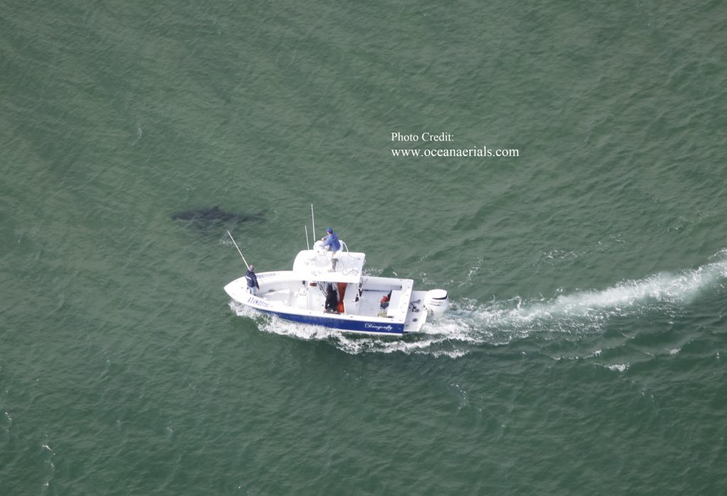 The Dragonly Sportfishing boat touring next to a large Cape Cod white shark